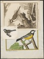 Parus major - 1700-1880 - Print - Iconographia Zoologica - Special Collections University of Amsterdam - UBA01 IZ16100103.tif