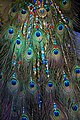 Peacock Jewelery (6481364025).jpg