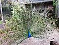 Peacock display in Madeira Botanical Gardens - Apr 2013.jpg