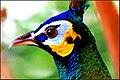Peacock head.jpg