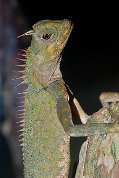 Peninsular Horned Tree Lizard (Acanthosaura armata) (8746923957).jpg