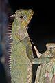 Peninsular Horned Tree Lizard (Acanthosaura armata) (8746923957).jpg