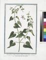 Periploca Monspeliaca foliis acutioribus - Scammonée de Montepellier (NYPL b14444147-1124967).tiff