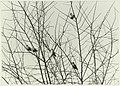 Pestvogels, NL-HlmNHA 5400465308.JPG