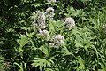 Petasites tatewakianus (Asteraceae) (35969836162).jpg