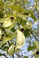 Petworth - Davidia involucrata (dove tree, handkerchief tree, pocket handkerchief tree, ghost tree).jpg