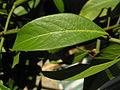 Pflanze Mittelamerika2.JPG