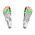 Phalanges of the foot05 inferior view.png