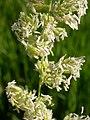 Phalaris arundinacea (3883211302).jpg