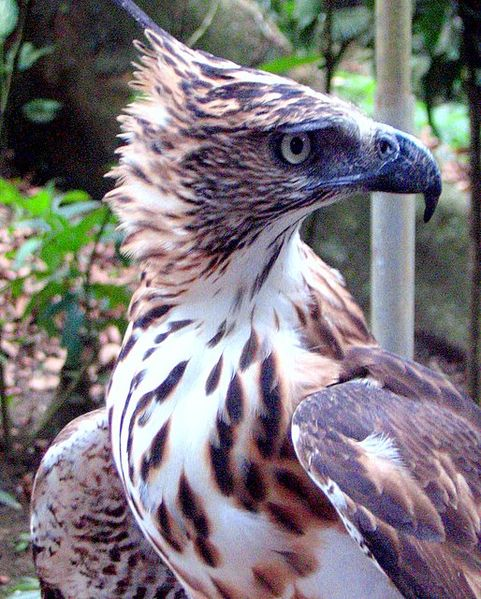 Ficheiro:Philippine Hawk-eagle.jpg