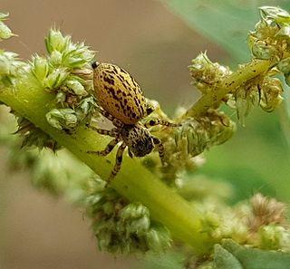<i>Phintella</i> genus of arachnids