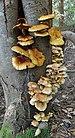 Pholiota aurivella and Hypholoma fasciculare 2010-10-13.jpg