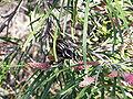 Phylidonyris novaehollandiae 03.jpg