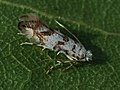Phyllonorycter joannisi (27122000378).jpg