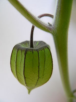Physalis peruviana - Immature fruit in green calyx