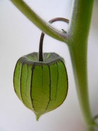 Physalis peruviana - Immature fruit in green calyx