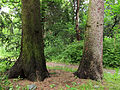 Picea engelmannii & P. abies Syrets1.JPG