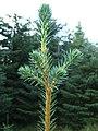 Picea sitchensis5.jpg