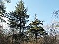 Picea torano forest of Yamanakako village.JPG