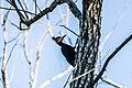 Picidae o pájaro carpintero.jpg