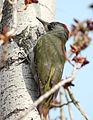 Picus viridis sharpei 075.jpg