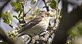 Pied flycatcher (51177311007).jpg