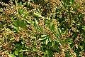 Pieris japonica Cavatine 0zz.jpg