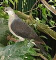 Pigeon leucomèle.jpg