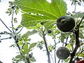 PikiWiki Israel 30940 Little Green Fruit Figs.jpg