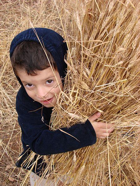 ילד בן שש משתתף בקציר ידני לקראת חג השבועות