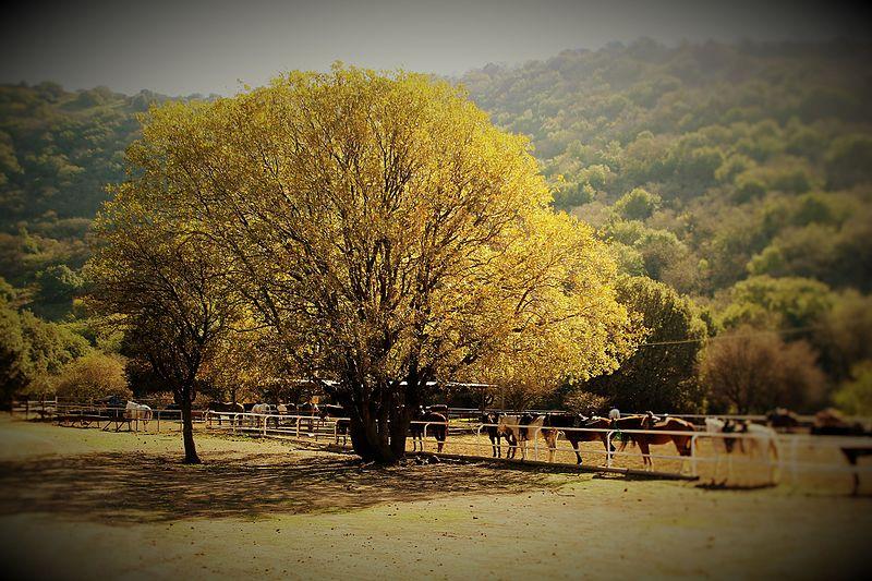 עץ בשלכת בקיבוץ מרום גולן