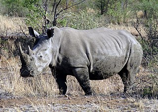 one of the two subspecies of the white rhinoceros