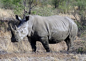 Southern white rhinoceros - A Southern white rhinoceros in Pilanesberg National Park, South Africa.