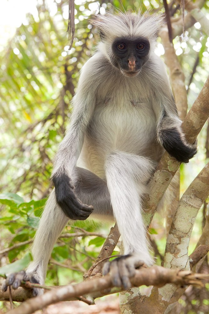 The average adult size of a Zanzibar red colobus is  (1' 11