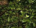 Pimenta dioica (Allspice) W IMG 2432.jpg