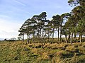 Pine trees on Eglingham Moor - geograph.org.uk - 322693.jpg