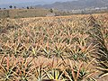 Pineapple field in an FPO in Nagaland.jpg