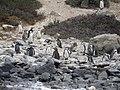 Pingüinos de Humboldt, Chile.jpg