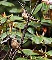 Pink-browed Rosefinch (Females) I IMG 6998.jpg