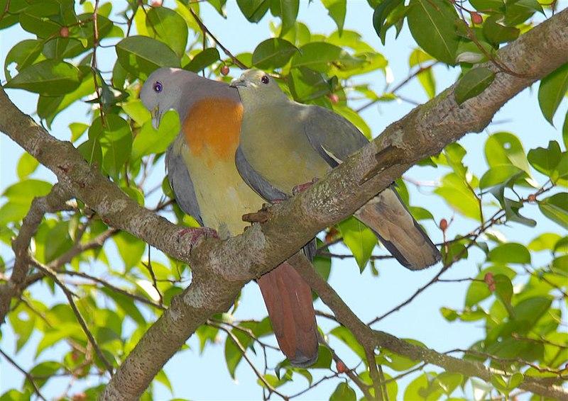 Ficheiro:Pink-necked Green Pigeon.jpg
