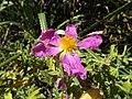Pink Rock-Rose 08.jpg