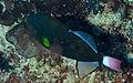 Pinktail Triggerfish (Melichthys vidua) (8477580926).jpg