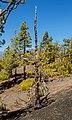 Pinus canariensis - Llano del Jable - La Palma 03.jpg