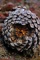 Pinus montezumae cone, Xaltipanapa, Puebla, Mexico.jpg