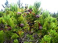 Pinus mugo 1.jpg