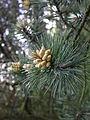 Pinus mugo uncinata male flowers.JPG