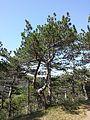 Pinus nigra (subsp. nigra) sl1.jpg