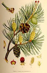 Pinus silvestris nf.jpg