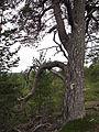 Pinus sylvestris.jpg