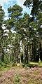 Pinus sylvestris - Burgwald 001.jpg